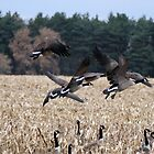 Geese in Flight. by Sandy  Tyler