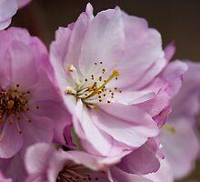 Cherry Blossoms by Alison Cornford-Matheson