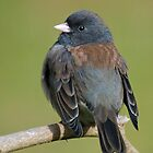 Oregon Junco by Bryan Peterson