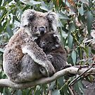 KOALAS - VICTORIA by Michael Sheridan