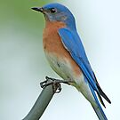 Bluebird Profile by Bonnie T.  Barry