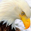 Portrait of an American Bald Eagle #1 by lanebrain photography