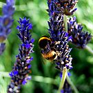 Bumblebee on Lavender by Catherine Sherman