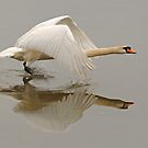 Swan Taking Flight by Richard Heeks