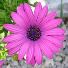 Pink African Daisy  by taiche