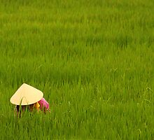 Rice Paddy-field by Mark Bolton