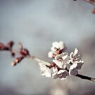 cherry blossom by eyeshoot