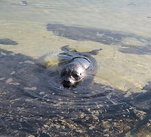 Curious seal at Morar, Scotland by frenzee