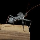 Assassin bug  by  B. Randi Bailey