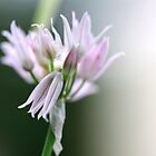Chive Flower by Richard Keech