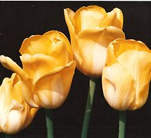 Yellow Tulips by rebuhman