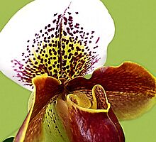 Pitcher Orchid - Rust © by jansnow