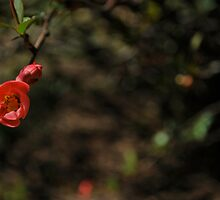 quince buds by Jeff Stroud
