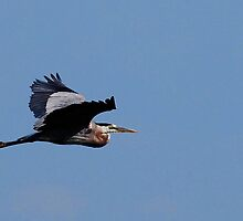 Heron in Flight by Nancy Barrett