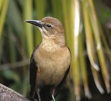 Female Grackle by Edward Denyer