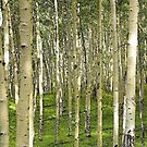 Aspens, New Mexico by Tamas Bakos