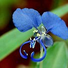 COMMELINA BENGHALENSIS - Benghal blue wandering Jew - Blouselblommetjie by Magaret Meintjes