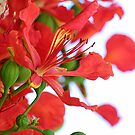 Poinciana by picketty