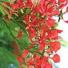 poinciana spray by picketty