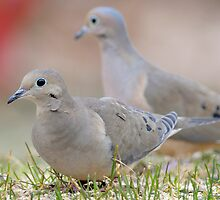 Mourning Doves by okcandids