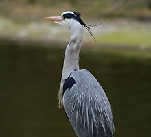 Great Blue Heron by Franco De Luca Calce