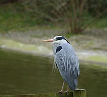 Great Blue Heron 2 by Franco De Luca Calce