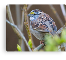 White-Throated Sparrow Canvas Print