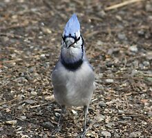 Curious Bluejay by Alyce Taylor