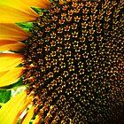 Sunflower in my backyard.. by webgrrl