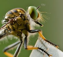 Robber Fly, waiting... by Cathy Jacobs
