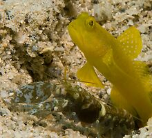 Banded Shrimpgoby with alpheid shrimp by Erik Schlogl