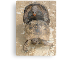 Scream If You Want To Go Faster - Mating Tortoises Metal Print