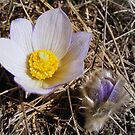 Crocus by Rachel Hoffman