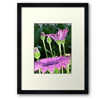 Purple And Pink Daisy Flower in Full Bloom Framed Print