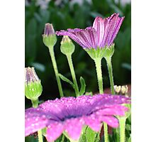 Purple And Pink Daisy Flower in Full Bloom Photographic Print
