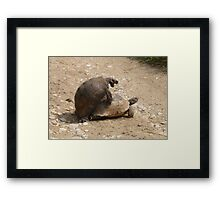 Gagging for It - Mating Turkish Tortoises  Framed Print