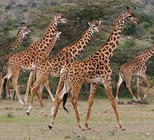 MAASAI GIRAFFES - KENYA by Michael Sheridan