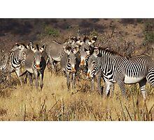 GREVY'S ZEBRAS - KENYA Photographic Print