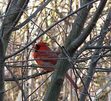 Cardinal in Tree by Lauryn Guyer