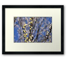 Willow catkins Framed Print