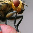 The FLY - Grey-striped 'flesh' fly (Sarcophaga aurifrons) by Rick Fin