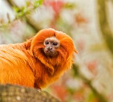Golden lion tamarin by tarnyacox