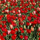 Tulips En Masse by EverChanging1