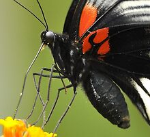 Great Mormon Butterfly 9 by Tony Wong