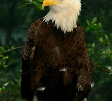 Portrait of an Eagle by Ashley Stevens