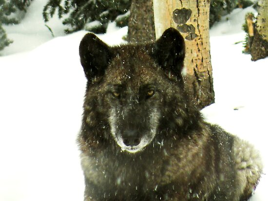 Black timber wolf by starbucksgirl26
