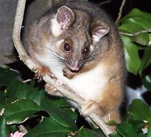 ringtail possum by jeroenvanveen