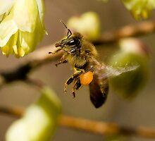 Honey Bee by David Friederich