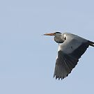 Grey Heron by Franco De Luca Calce