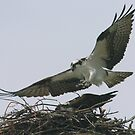 Osprey landing by Larry  Grayam